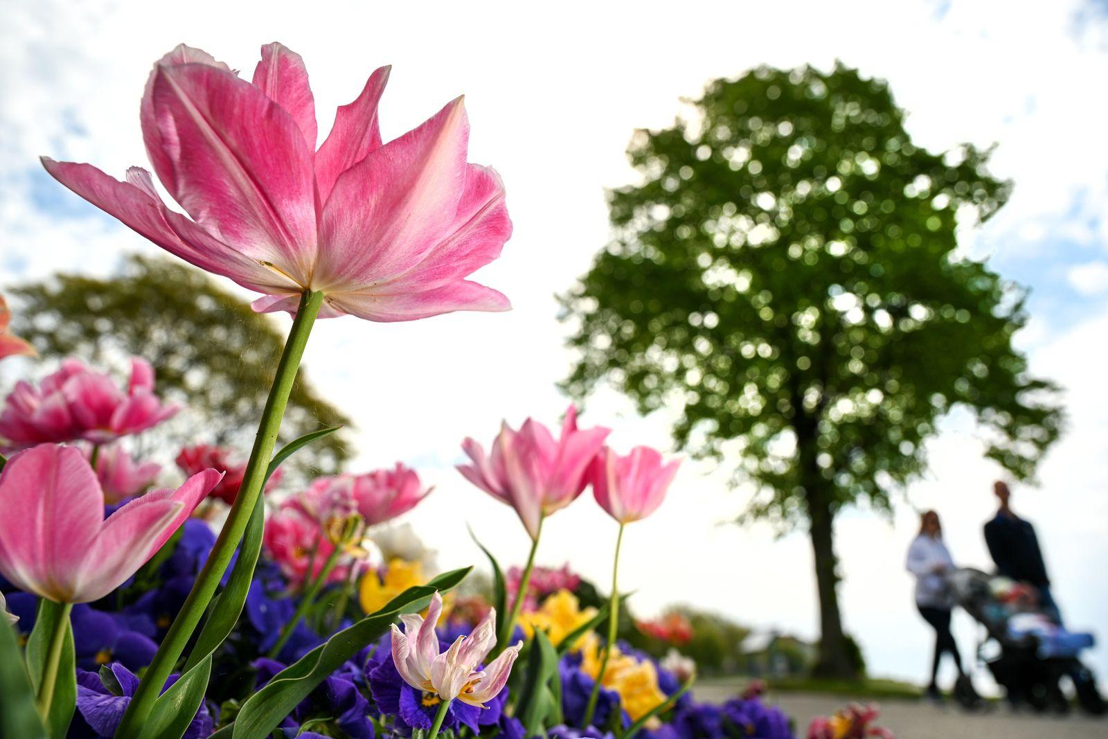 Tulpenpracht am Bodensee