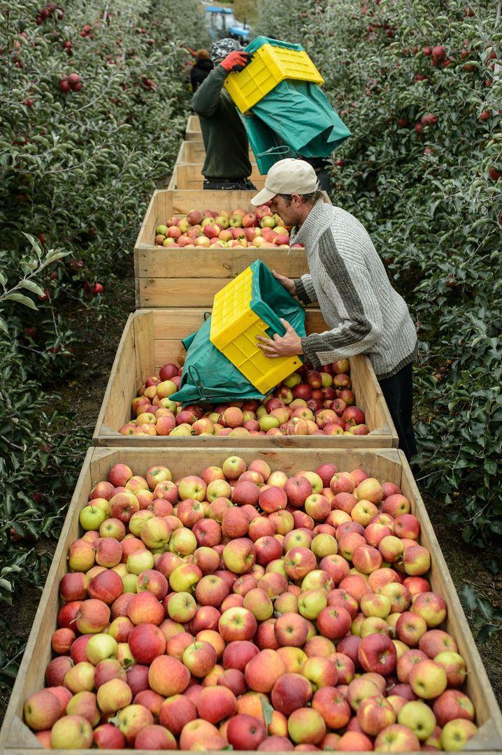 Apfelernte in Polen