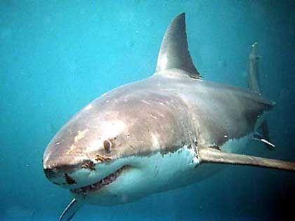 Weißer Hai vor der Küste Neuseelands: Im Jahr 2006 wurden weltweit 62 Hai-Attacken auf Menschen registriert