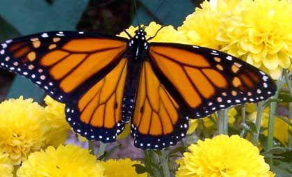 Monarchfalter: Punktlandung dank eingebauter Uhr