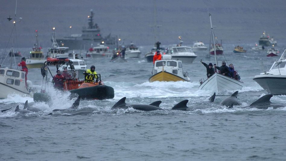 Walfang auf den Färöer Inseln