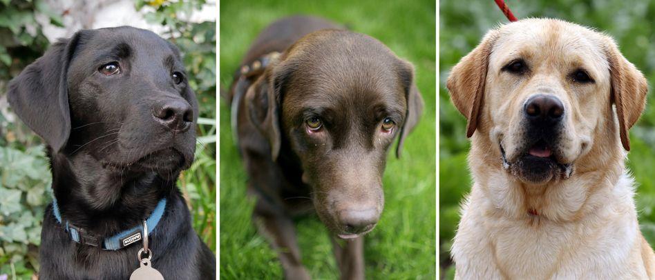 Labrador Retriever in verschiedenen Farben - in der Mitte eine braune Hündin