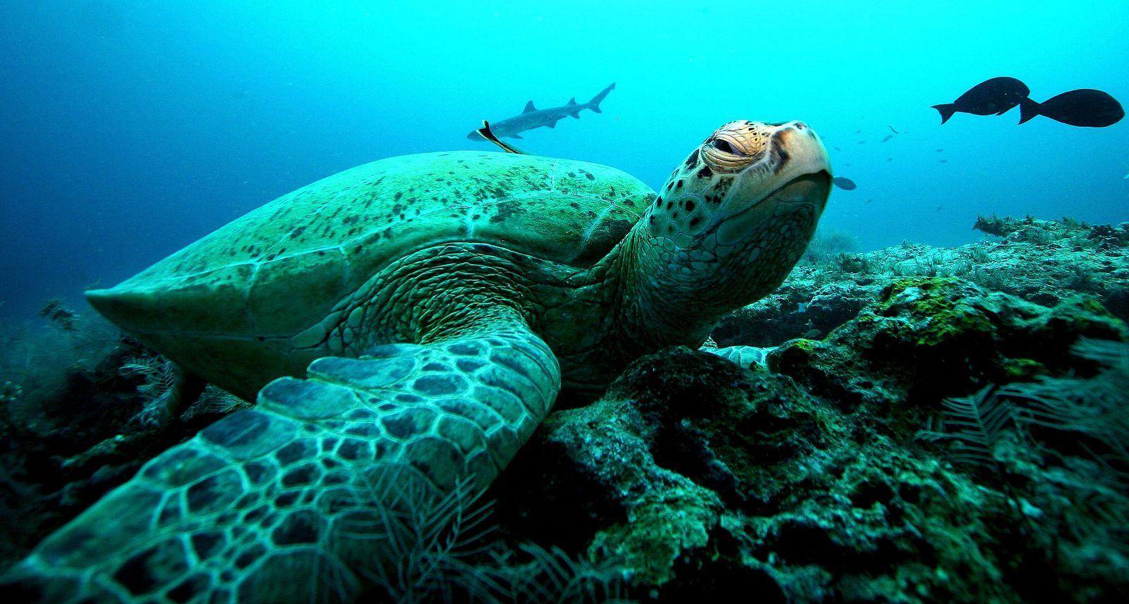 Schildkröte / Suppenschildkröte