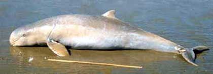 Stupsflossen-Delphin: Neue Art entdeckt