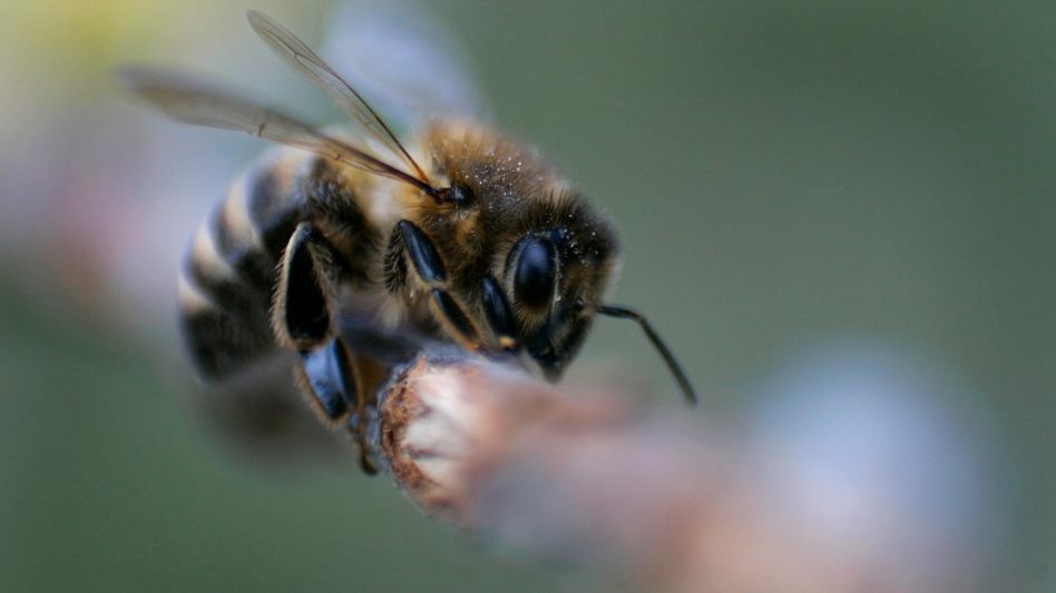 Honigbiene: Hilfreiche Insekten