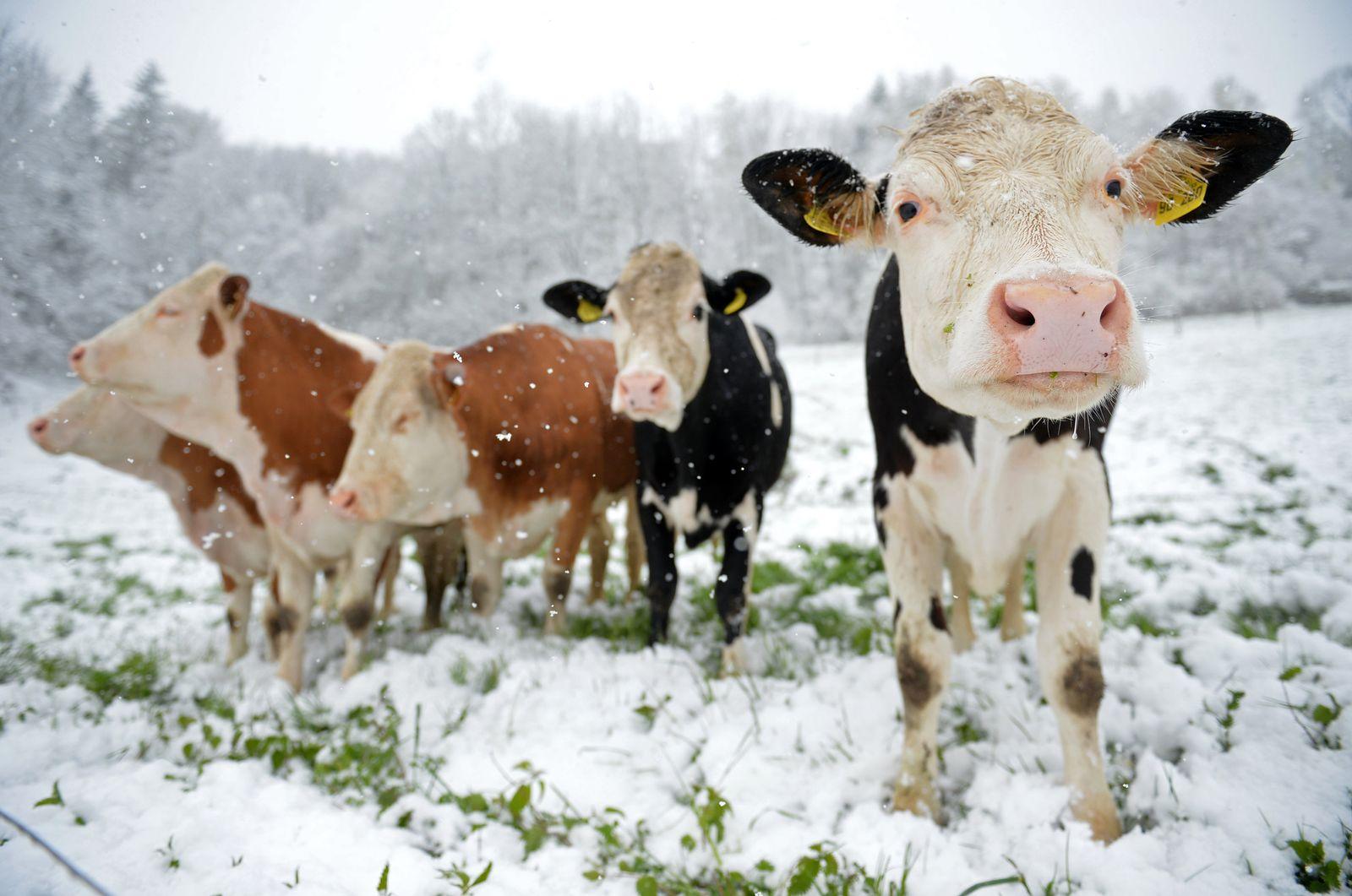 Rindvieh im Schnee