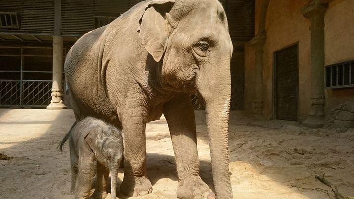 Elefantennachwuchs bei Hagenbeck: Es ist ein Bulle