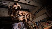 Weltgrößter T-Rex entdeckt