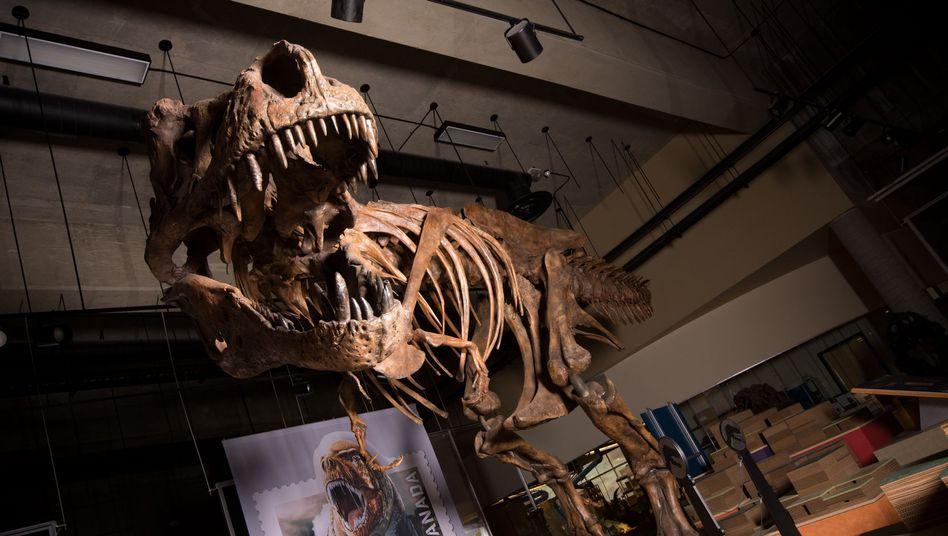 T-Rex Scotty wird seit einiger Zeit im Royal Saskatchewan Museum in Kanada ausgestellt