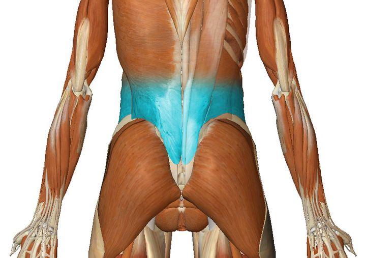 Der untere Rückenstrecker (zur Großansicht bitte klicken)