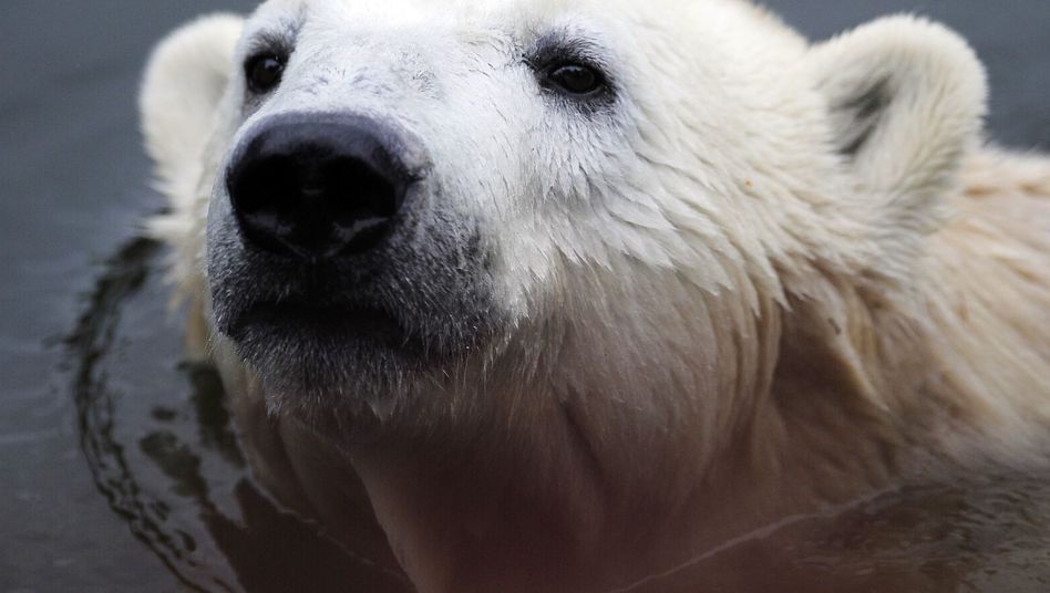 Knut is seen in an October 2010 photo: The bear was found dead on Saturday.