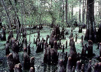 In den Sümpfen von Louisiana: Das Atchafalya Basin ist das größte Sumpfgebiet Amerikas