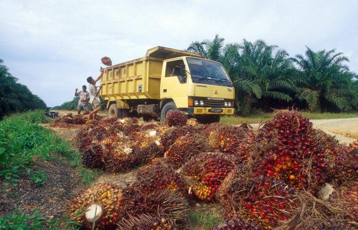 Arbeiter in Malaysia verladen auf einer Plantage Früchte der Ölpalme