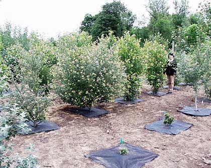 Baumschule: Wissenschaftlerin Cathleen Ma mit ihren pflanzlichen Versuchsobjekten