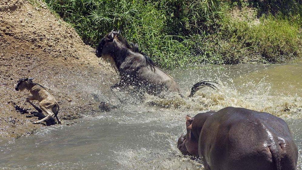 Nilpferd frisst Gnus: Im Todeskampf