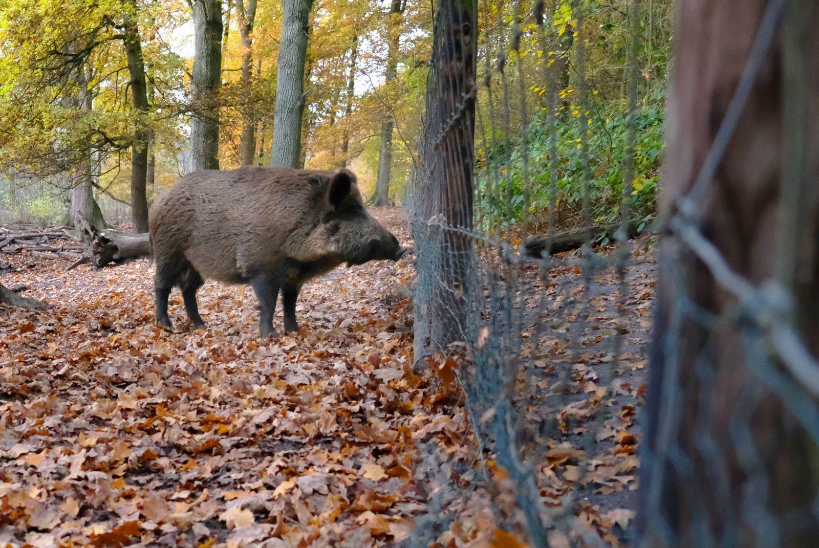 u.B.z. Wildschweine im Wildtiergehege in verschidenen Aktionen. Wildschweine *** u B z Wild boar in wild animal enclosu