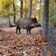 Erster Fall der Afrikanischen Schweinepest in Deutschland bestätigt