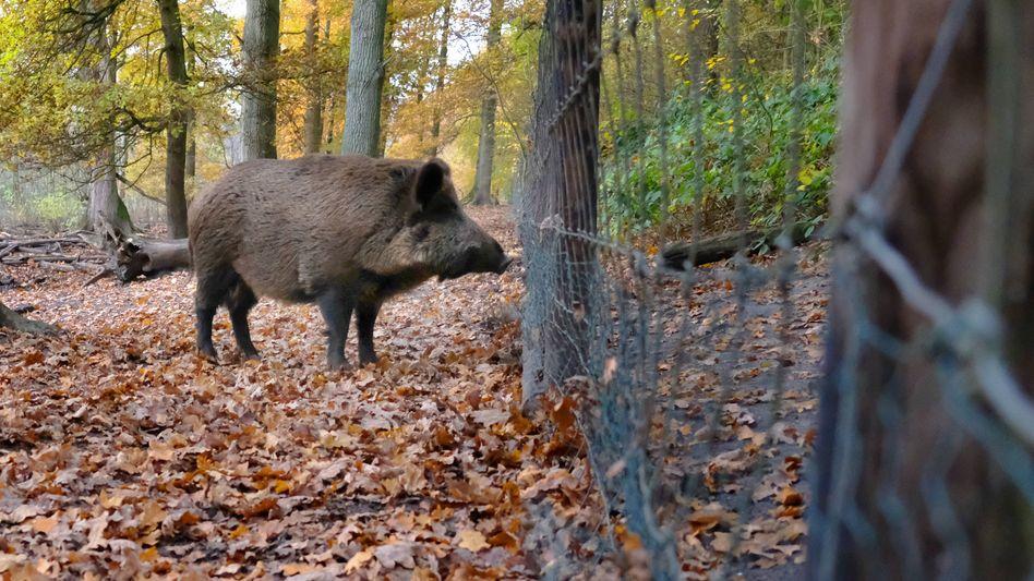 An der deutsch-polnischen Grenze wurde ein Wildschweinkadaver bereits am Mittwoch positiv auf die Afrikanische Schweinepest getestet