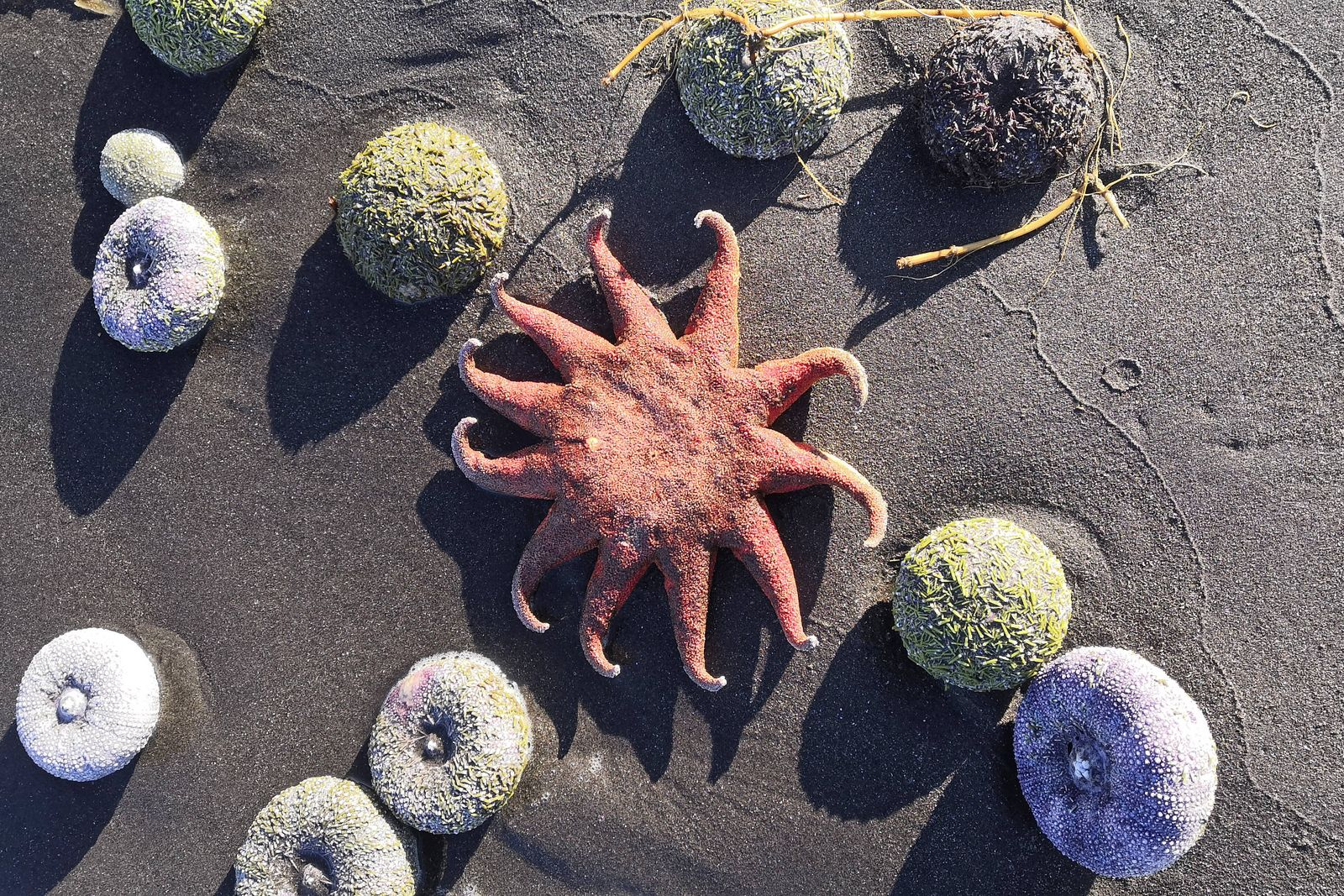 VILYUCHINSK, RUSSIA - OCTOBER 1, 2020: A starfish on the shore of the Bezymyannaya Bay. Many dead marine animals are ca