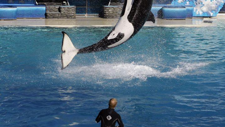 Orca Kasatka: Ein Leben in Gefangenschaft