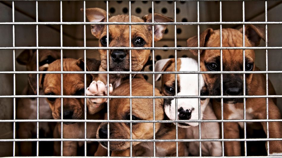 Welpen in Käfig: Wo kommen all die Hunde her?