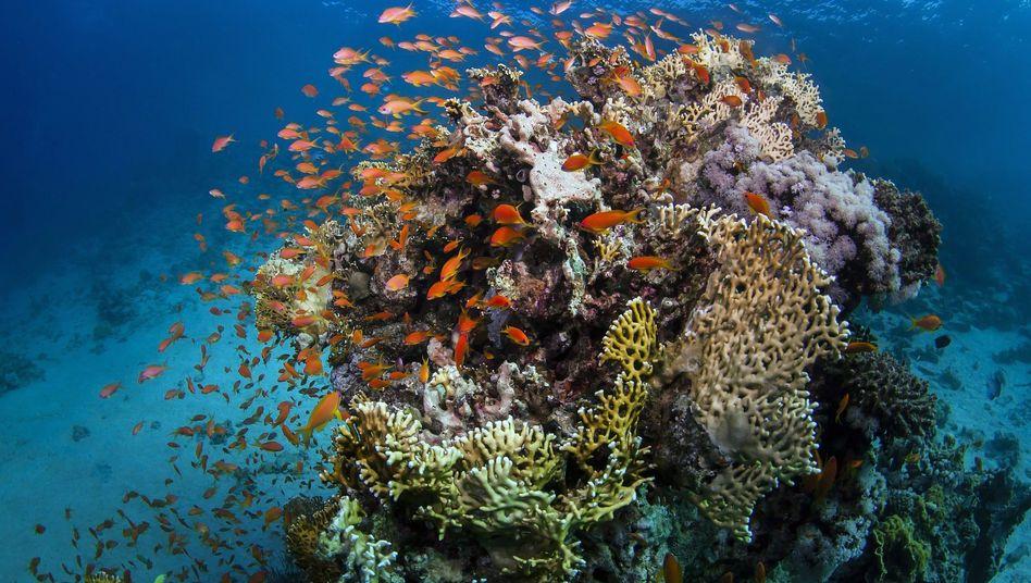 Fische am Great Barrier Reef
