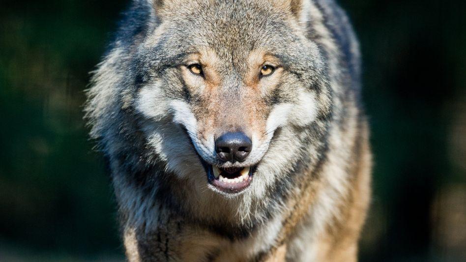 Ein Wolf im Wildpark Schorfheide in Groß Schönebeck (Archivfoto): Trotz Schutz wurde in Brandenburg ein Tier erschossen