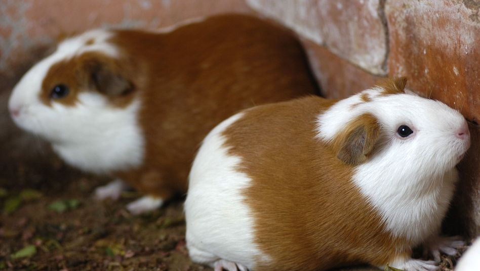Guinea pigs and other four-legged creatures will be protected by the Dutch police.