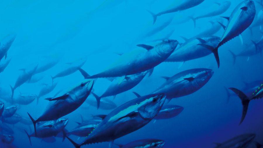 Thunfischwarm im Mittelmeer: Bedrohte Fischart