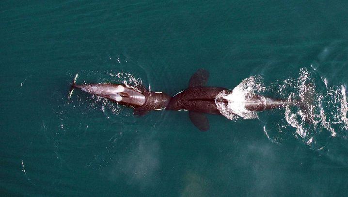 Spielende Killerwale: Knuff mich doch