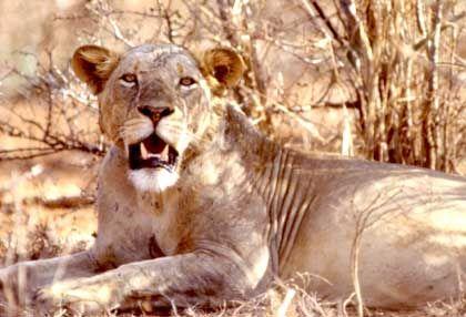 Mähnenloser Tsavo-Löwe: Raffinierte Jagdstrategien