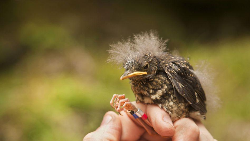Die Erhaltung dieses unscheinbaren Vogels ist für das gesamte Ökosystem der hawaiianischen Insel Kaua'i wichtig
