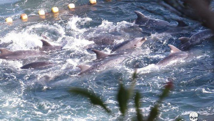 Delfinjagd: Das große Schlachten