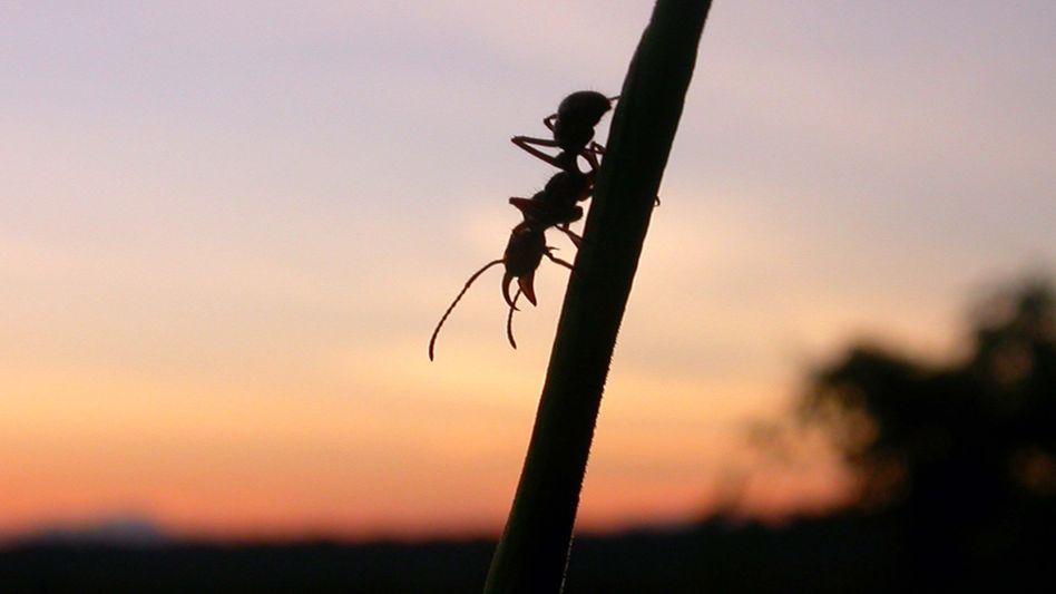 Ameise (Archivaufnahme): Pilz führt Insekten in den Tod