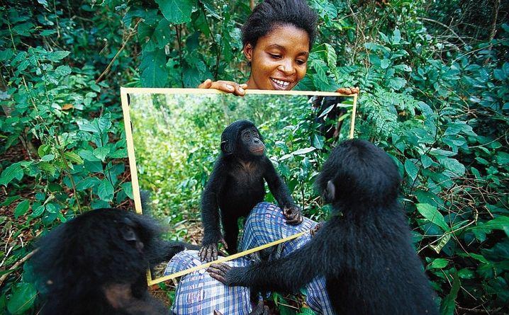 Unsere nächsten Verwandten: Schimpanse, Orang-Utan, Bonobo und Gorilla haben erstaunliche Fähigkeiten. Sie merken sich ihre Lieblingsbäume, bauen Regenschirme, erkennen ihr Spiegelbild und nutzen Werkzeuge.