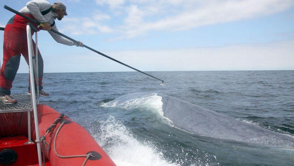 Befestigung eines Messgeräts an einem Wal: Störende Sonargeräusche beobachtet