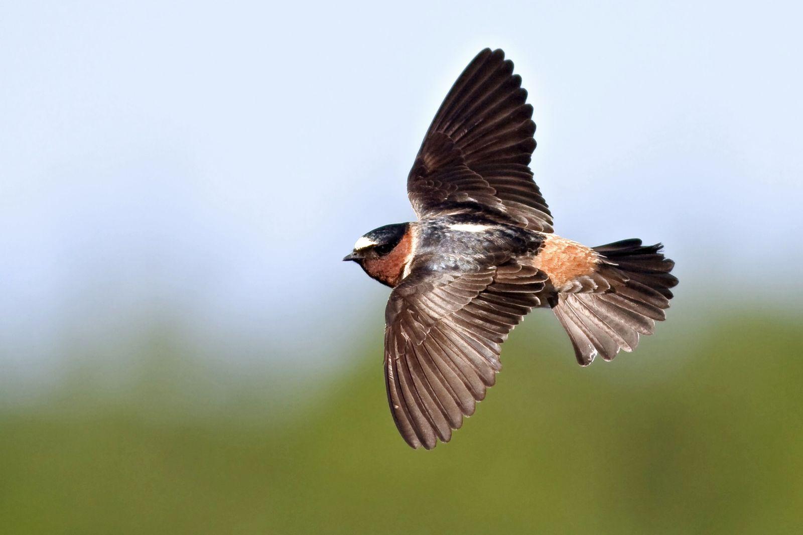 NICHT MEHR VERWENDEN! - Faltstirnschwalbe / Flügel