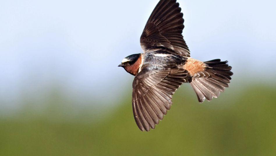 Fahlstirnschwalbe: Bessere Überlebenschancen mit kürzeren Flügeln
