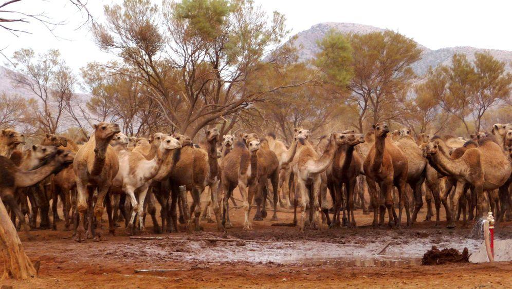Australien: Kampf gegen Kamele