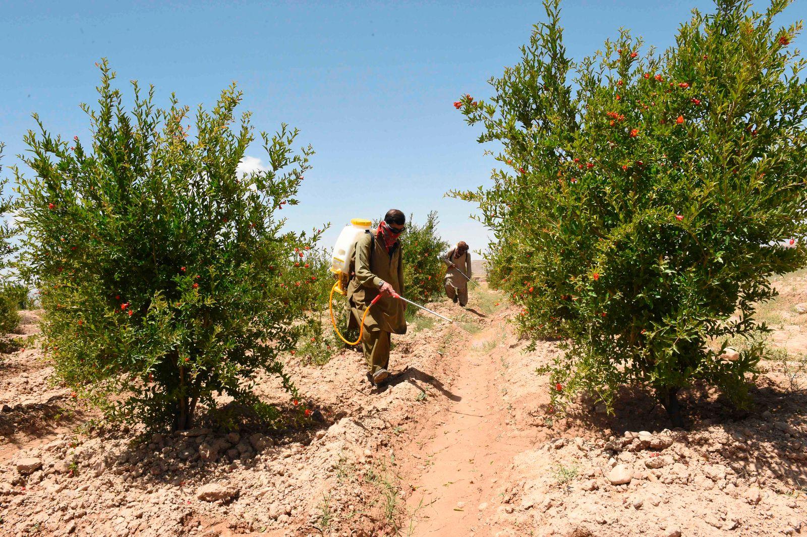 PAKISTAN-AGRICULTURE-CLIMATE-WEATHER-LOCUSTS