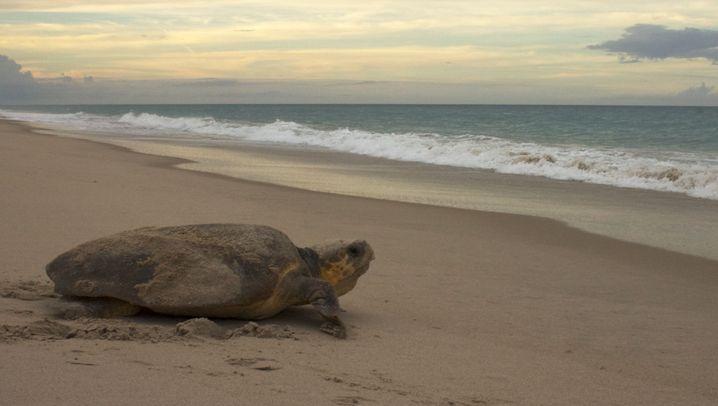 Meeresschildkröten: Das Erdmagnetfeld weist den Weg