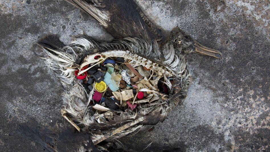 Ein toter Schwarzfußalbatros.
