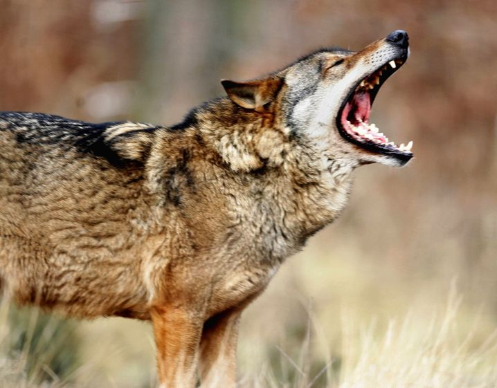 Wolves have returned to Germany.