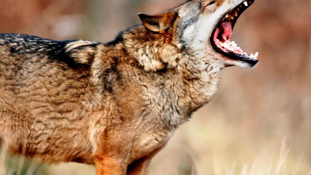 Wölfe in der Lausitz: Kaum Gefahr für Schafe
