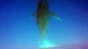 Buckelwale beim Eintauchen gefilmt