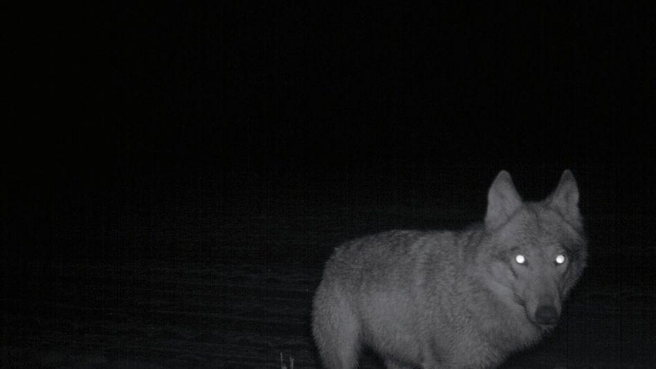 Fotofallen-Bild eines Wolfs bei Daubitz in der Lausitz
