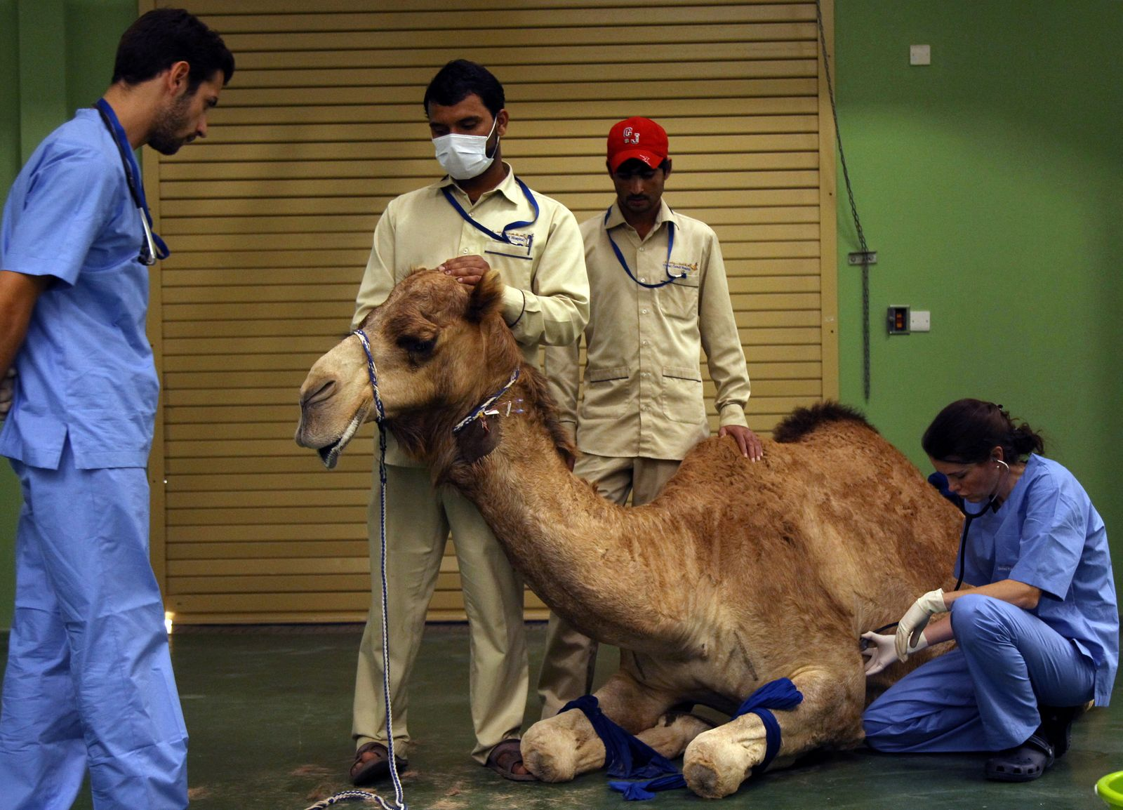 A camel receives an injection before a foot surgery at the Dubai Camel Hospital in Dubai