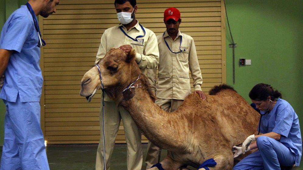 Die Kamel-Klinik von Dubai