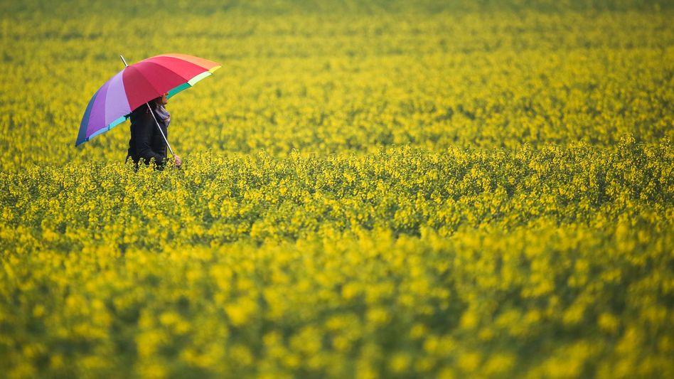 Im Regen im Rapsfeld: Auch die Rapserträge 2021 fielen schlechter aus als im Mittel der Jahre von 2015 bis 2019