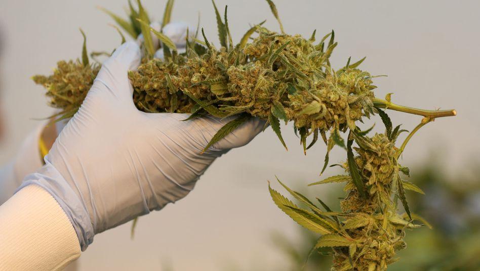 Cannabis-Produktion in Kanada